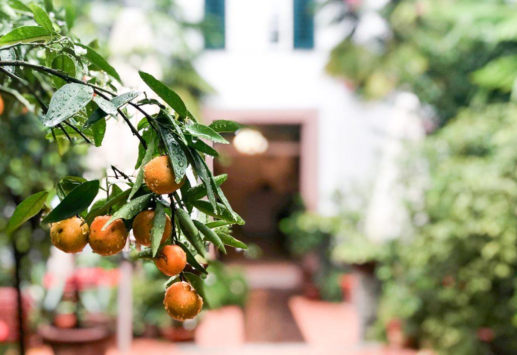 Zitrusfrüchte im Garten des Hotels Ottmangut in Meran