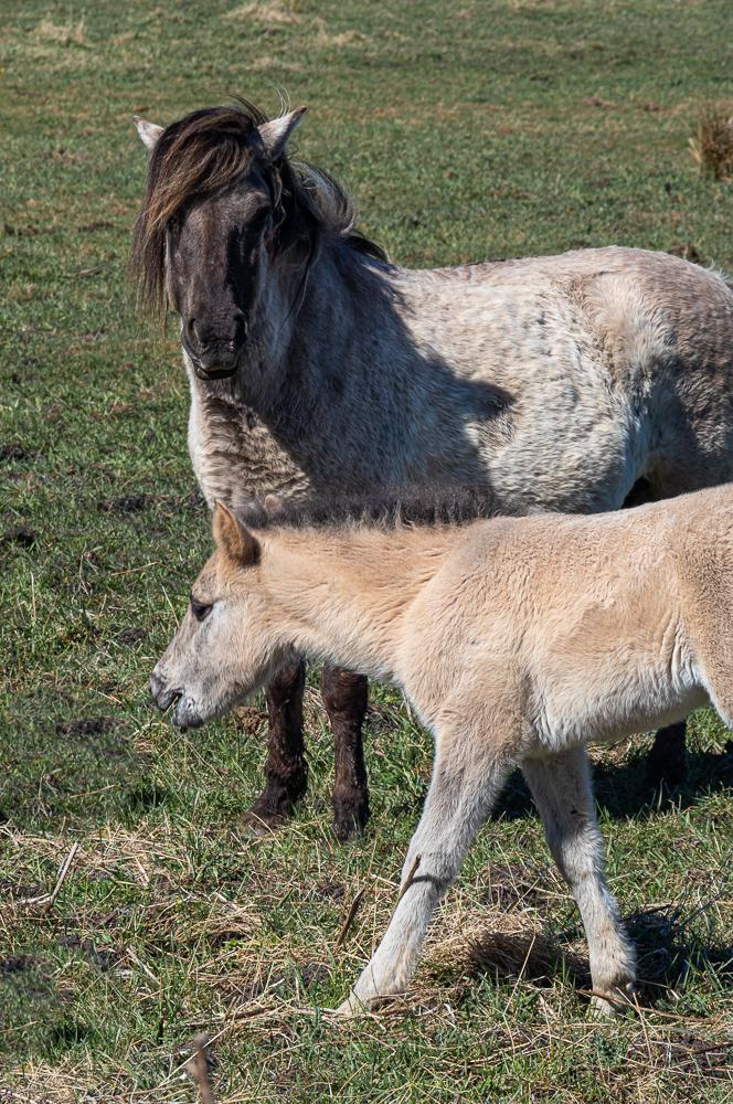 wo diec wilden Pferde wohnen: Koniks im Naturschutzgebiet der Geltinger Birk