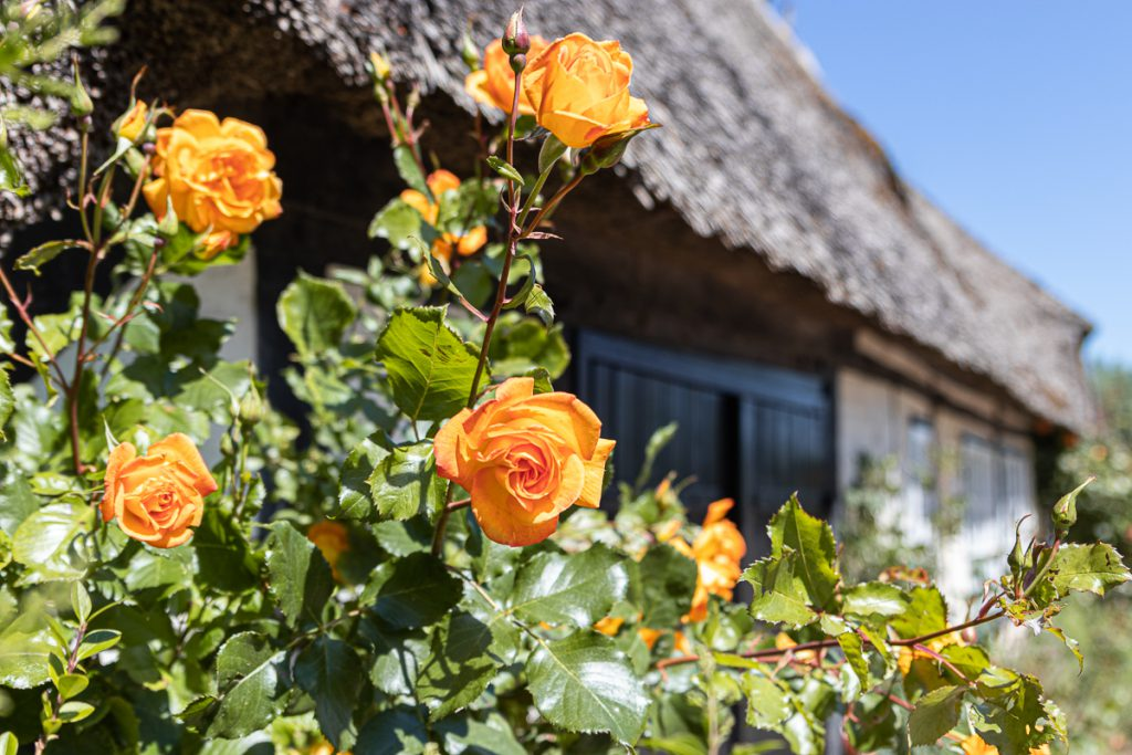 Rosenpracht in Sieseby, Schlei