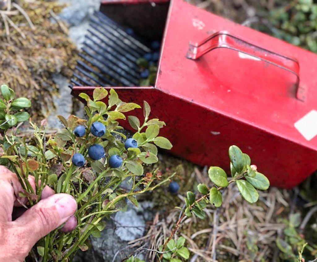 einfach Blaubeeren pflücken mit dem Blaubeerpflücker